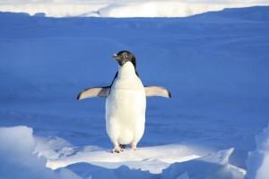 Goole-penguin